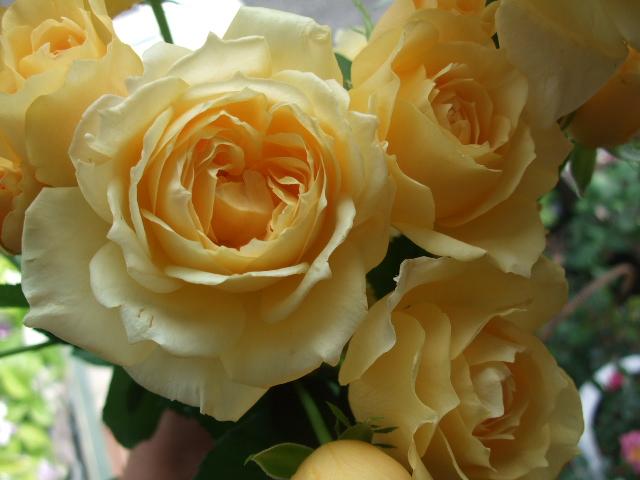 オークリーフ(そろそろ薔薇の季節に・・)_f0049672_11583163.jpg