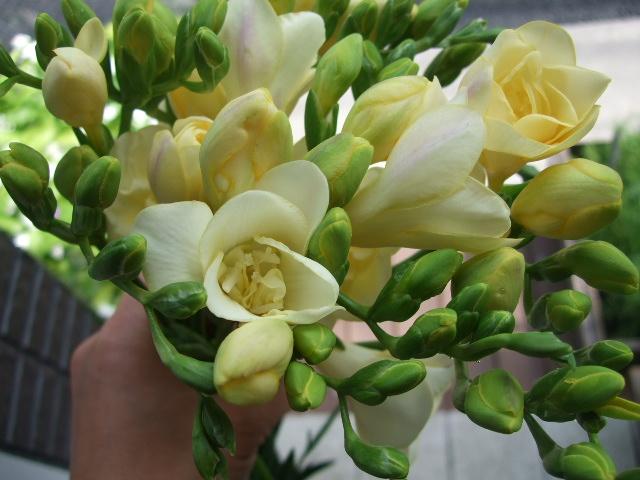 オークリーフ(そろそろ薔薇の季節に・・)_f0049672_123380.jpg