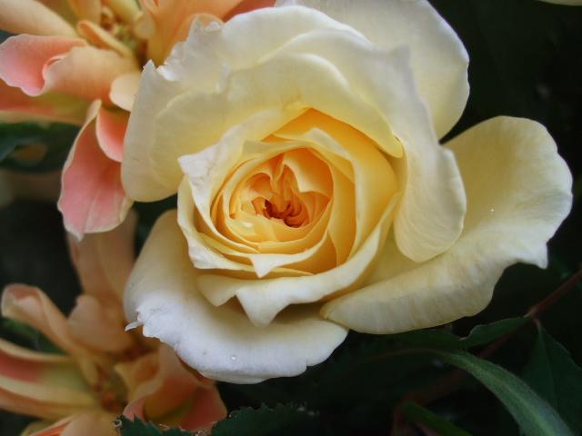 オークリーフ(薔薇・イエローエタニティーを入れた花束)_f0049672_14532015.jpg