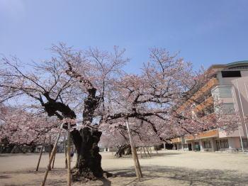 桜の季節_c0019880_1334790.jpg