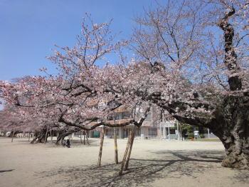 桜の季節_c0019880_1355217.jpg