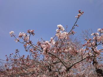 桜の季節_c0019880_1371051.jpg