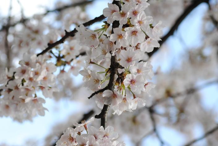 cerisier_c0195496_23271841.jpg