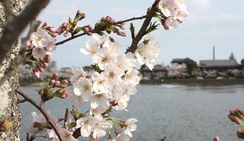 徳川家康が訪れた、八鶴湖は春らんまん_b0114798_1925746.jpg