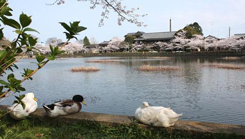 徳川家康が訪れた、八鶴湖は春らんまん_b0114798_1951065.jpg