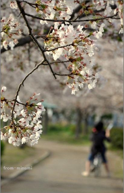 sakura sakura Ⅵ_e0184300_1402415.jpg