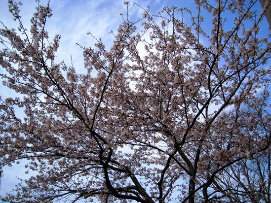 我が家の桜_b0083801_0273263.jpg