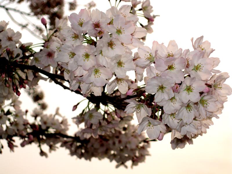 夕暮れと桜_b0083801_048887.jpg
