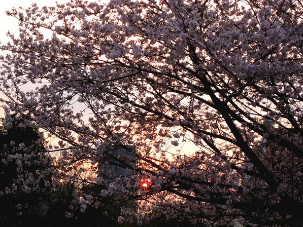 夕暮れと桜_b0083801_0514745.jpg