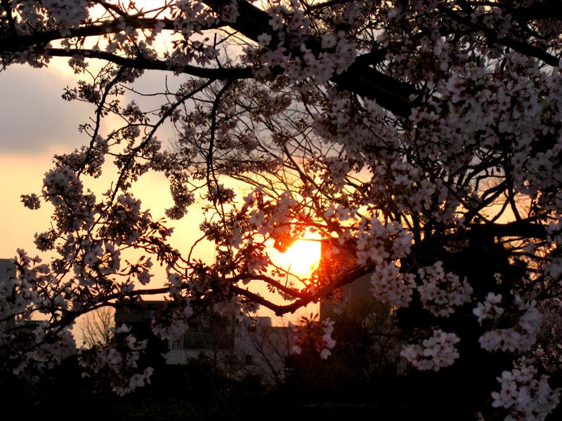夕暮れと桜_b0083801_052324.jpg