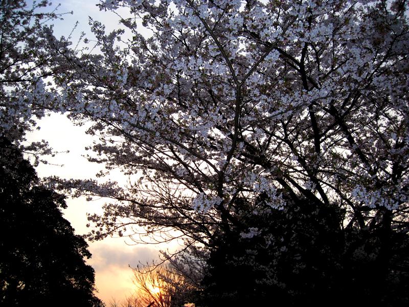 夕暮れと桜_b0083801_0532436.jpg