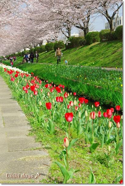 桜とチューリップの共演_f0179404_21105117.jpg