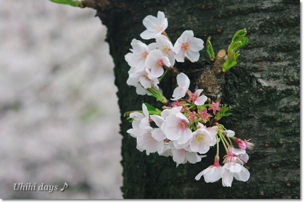 桜とチューリップの共演_f0179404_2111325.jpg