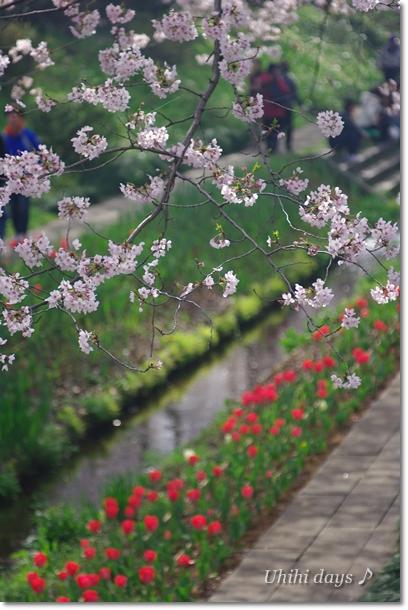 桜とチューリップの共演_f0179404_2165066.jpg