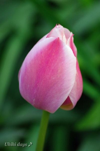桜とチューリップの共演_f0179404_2171138.jpg