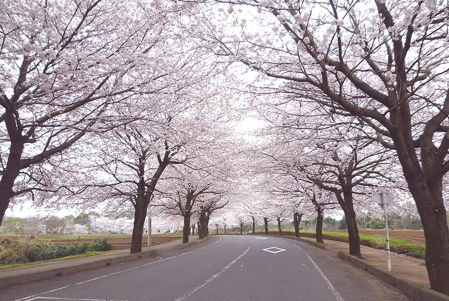 満開の桜_d0151813_19482278.jpg