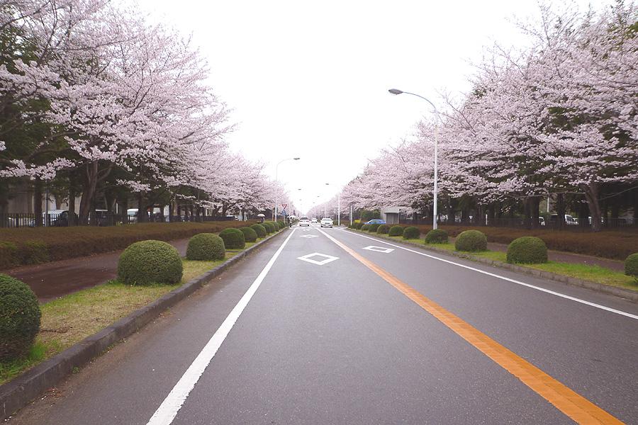 満開の桜_d0151813_19485660.jpg