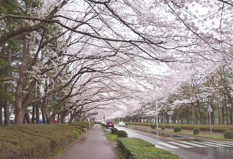 満開の桜_d0151813_19492948.jpg