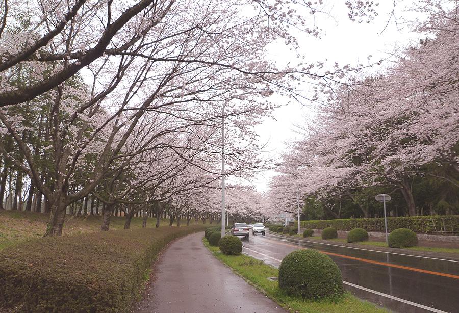 満開の桜_d0151813_1950120.jpg