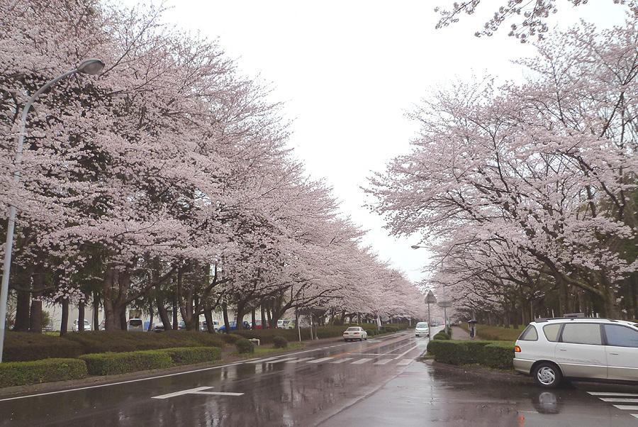 満開の桜_d0151813_19502964.jpg