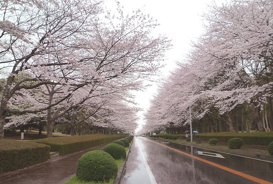 満開の桜_d0151813_1951957.jpg