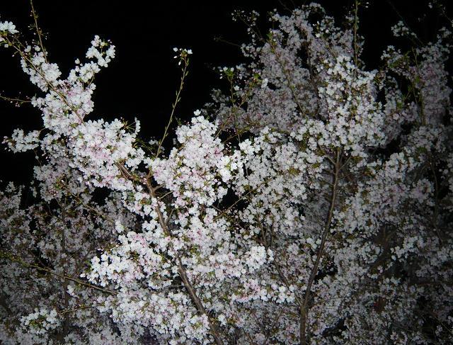 RoCoCoの周辺 桜_f0223914_0283630.jpg