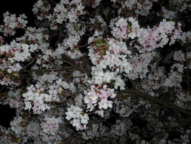 RoCoCoの周辺 桜_f0223914_031716.jpg
