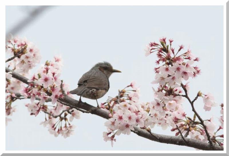 桜と鳥さん_f0100825_23471469.jpg