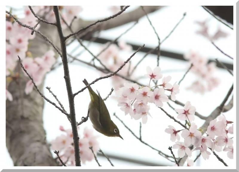 桜と鳥さん_f0100825_23484937.jpg