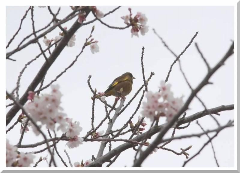 桜と鳥さん_f0100825_23494418.jpg
