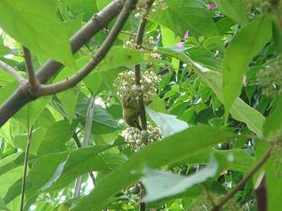 バリ島のウグイスは、ご飯を食べる?_a0120328_22441046.jpg