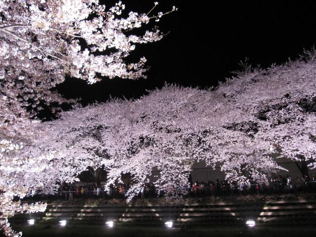 桜 さくら sakura_f0180433_21205316.jpg