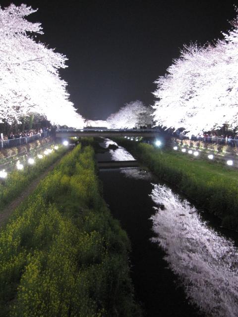 桜 さくら sakura_f0180433_21211288.jpg