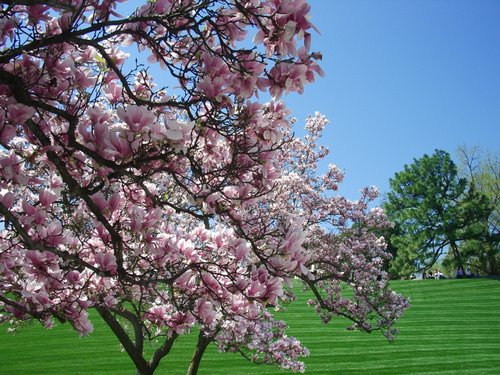 DCでお花見 part3 アーリントン墓地_c0064534_2303888.jpg