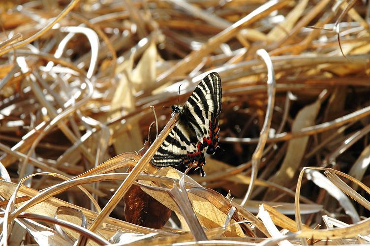 2010想い出の蝶ランキング1位ギフチョウ_e0194952_14573834.jpg