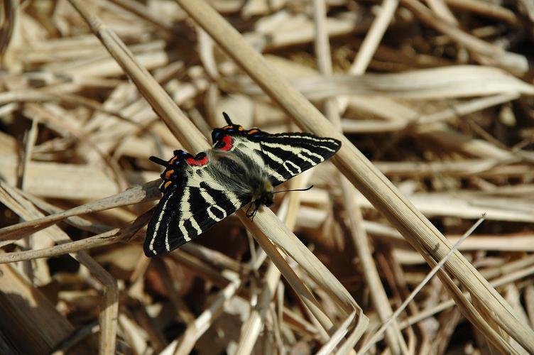 2010想い出の蝶ランキング1位ギフチョウ_e0194952_22353999.jpg