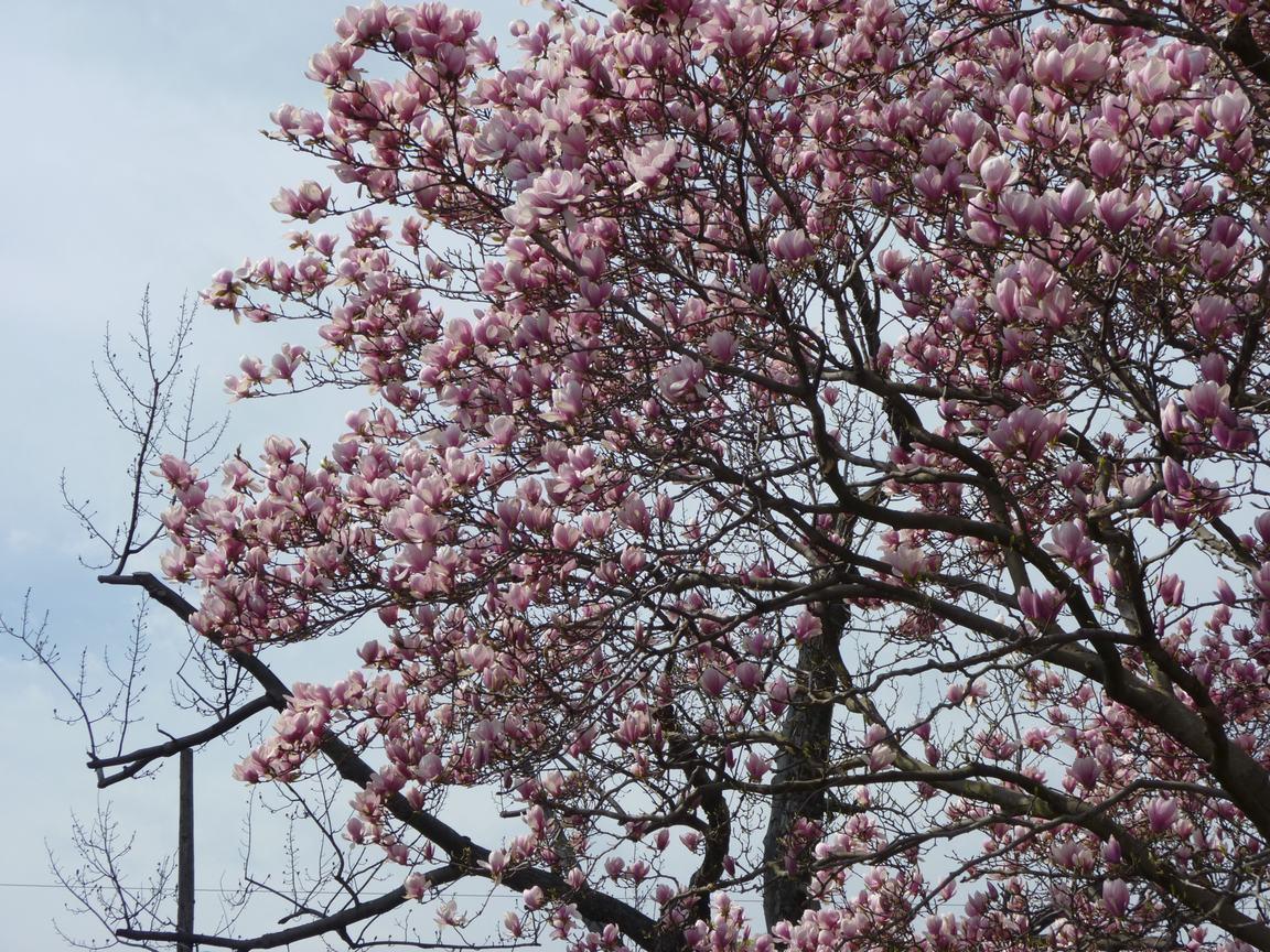 春が来ています、マンハッタンに・・・・、_d0100880_826276.jpg