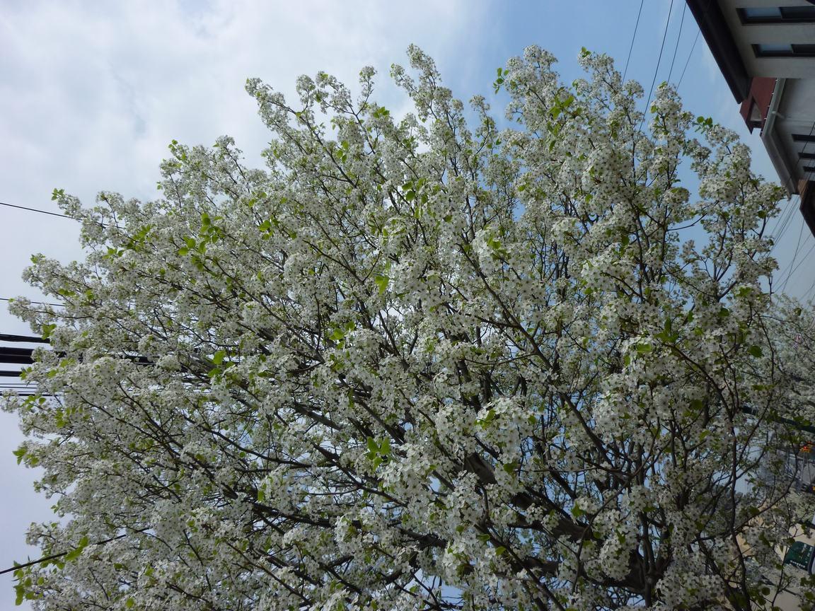 春が来ています、マンハッタンに・・・・、_d0100880_8265113.jpg