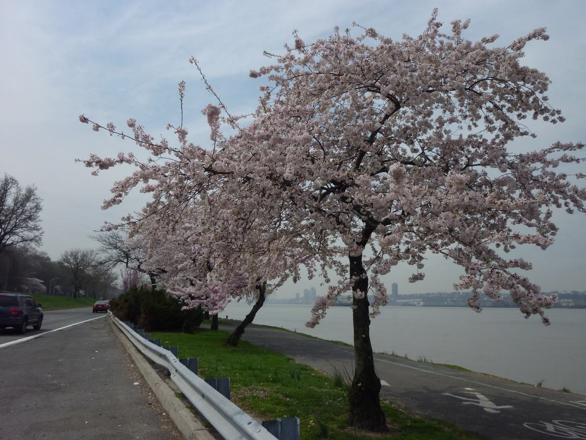 春が来ています、マンハッタンに・・・・、_d0100880_8373791.jpg