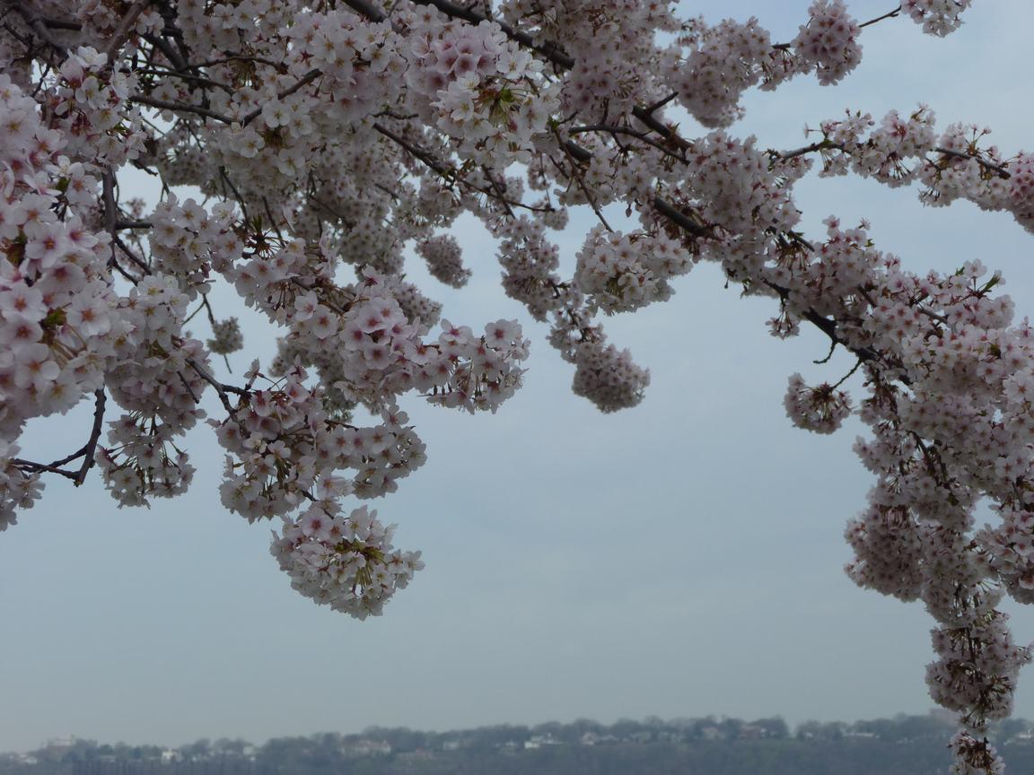 春が来ています、マンハッタンに・・・・、_d0100880_8431210.jpg