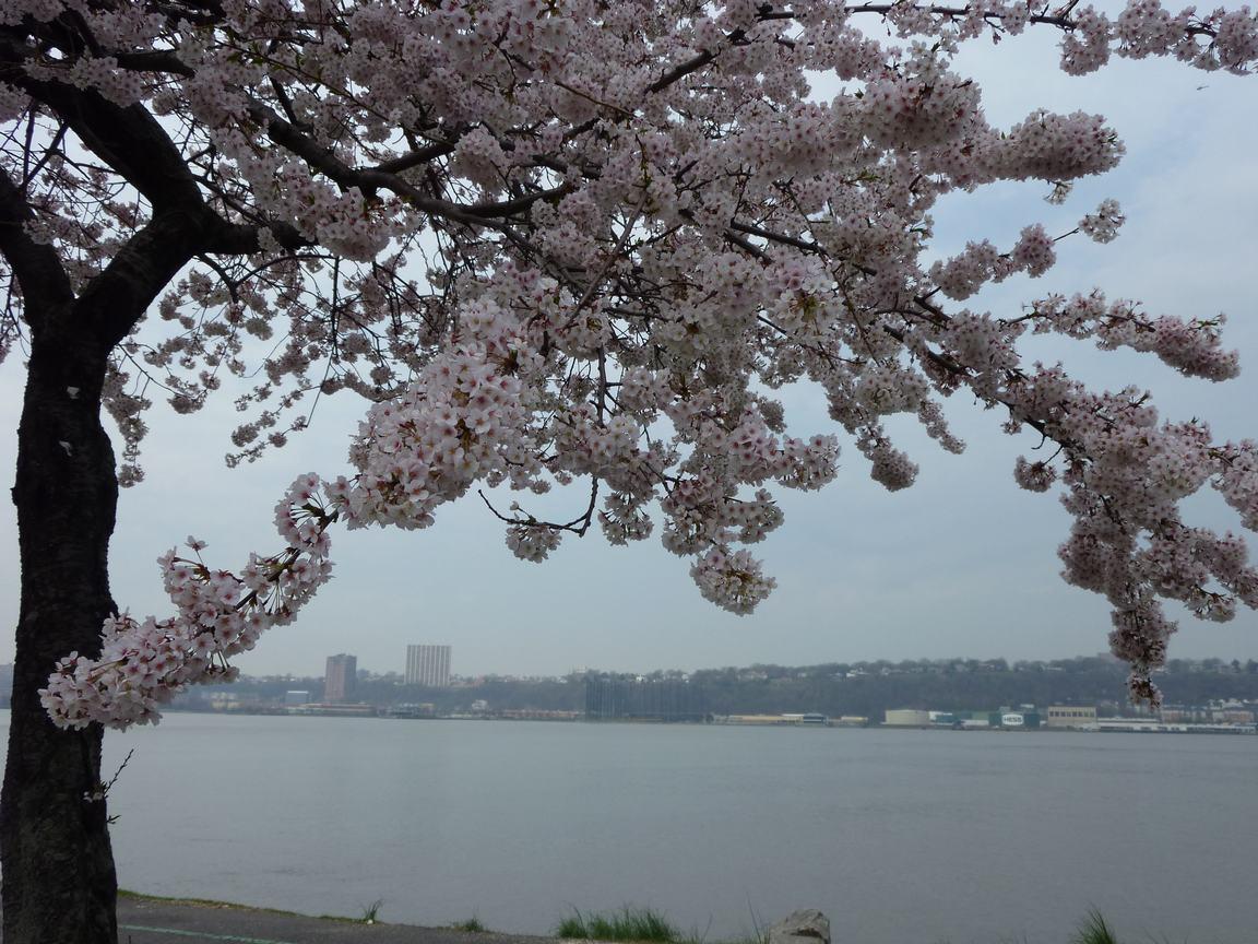 春が来ています、マンハッタンに・・・・、_d0100880_8432524.jpg