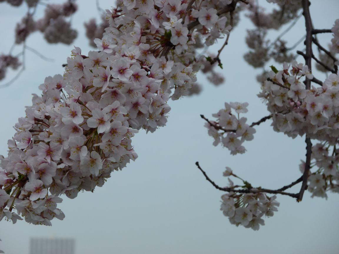 春が来ています、マンハッタンに・・・・、_d0100880_8433624.jpg