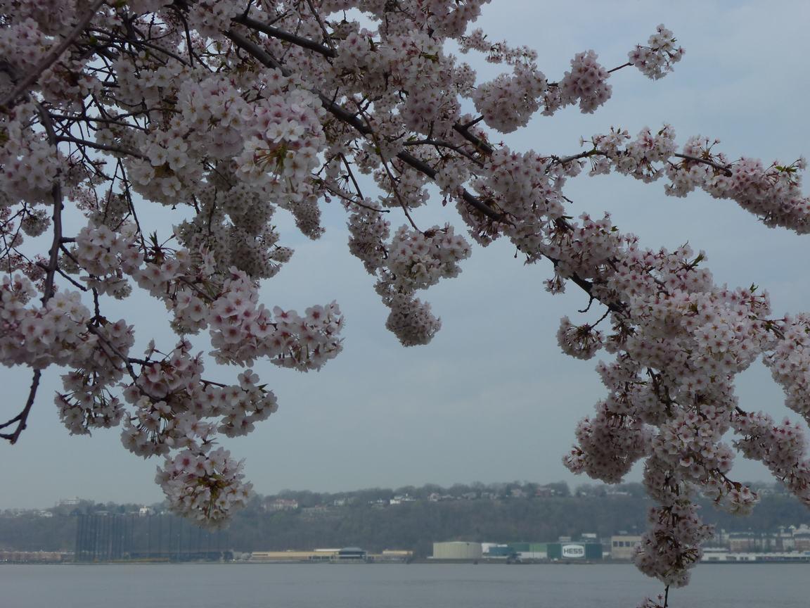 春が来ています、マンハッタンに・・・・、_d0100880_8434767.jpg