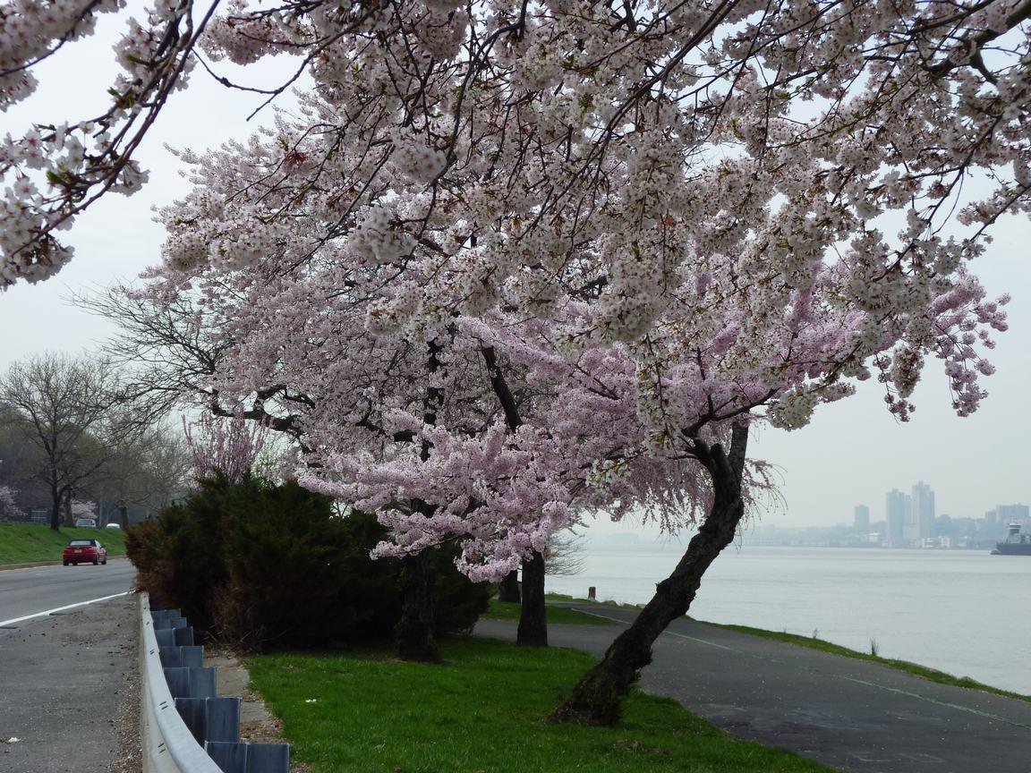 春が来ています、マンハッタンに・・・・、_d0100880_8435989.jpg