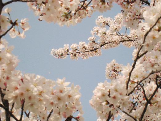 満開の桜_c0224085_23171835.jpg