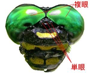 昆虫が見ている世界 : 萩博ブロ...