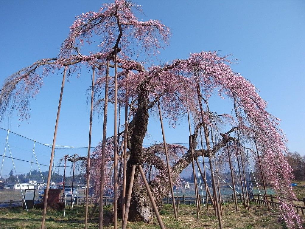 昨年の桜_f0138096_9314558.jpg