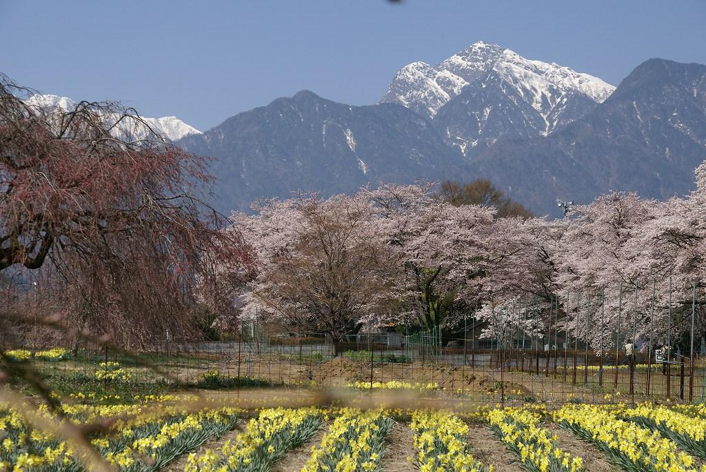 昨年の桜_f0138096_9322612.jpg