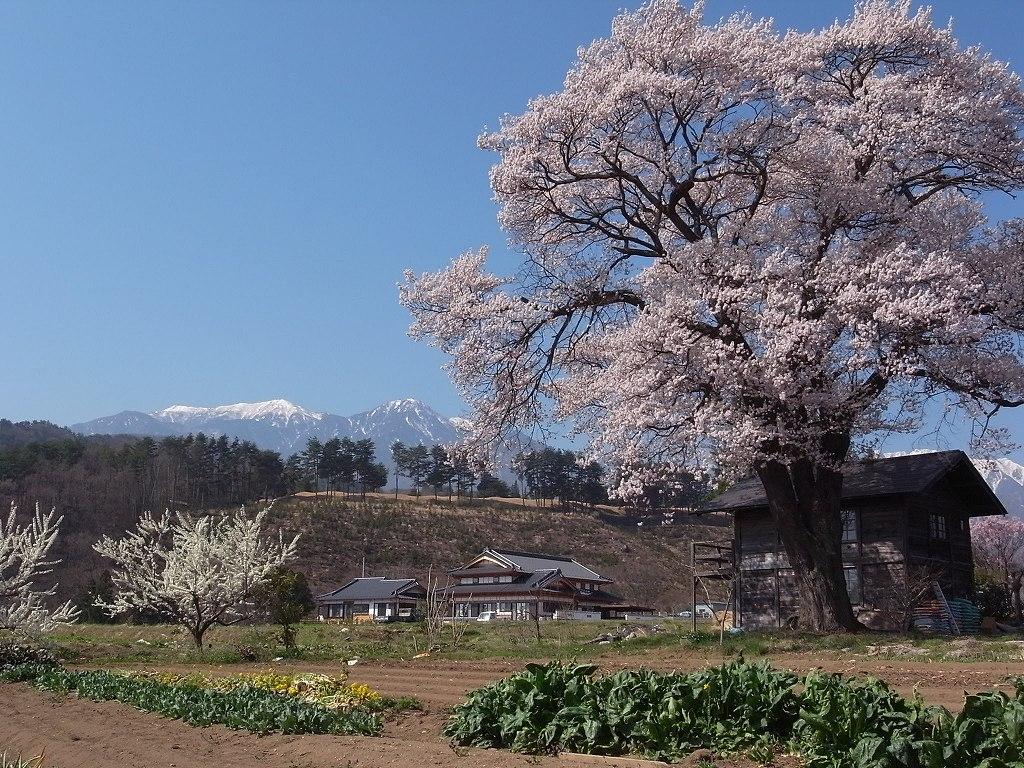 昨年の桜_f0138096_9325332.jpg