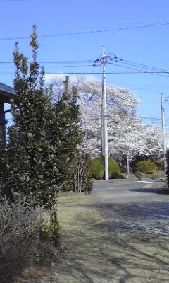 庭から見える桜_c0221000_15484452.jpg
